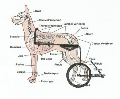 why eddie\u0027s wheels carts do not cause decubital ulcers eddie\u0027s Dog Muscle Anatomy Diagram